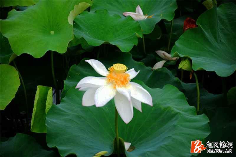 仙庾荷花35.jpg
