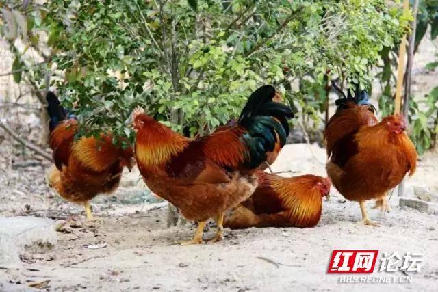 农村摆宴席,准备鸡鸭.jpg