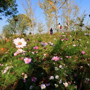 【探秘湖湘】初冬的长沙只有红叶、银杏?错,这里有一片格桑花海!