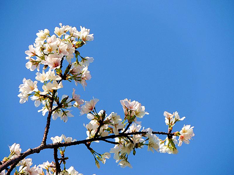 美丽株洲我的家,蓝天下盛开白樱花