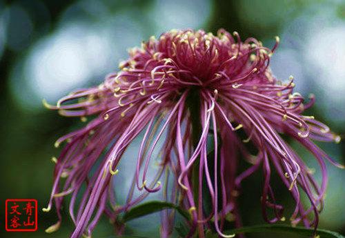 菊花图片2.jpg