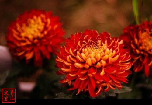 菊花图片3.jpg