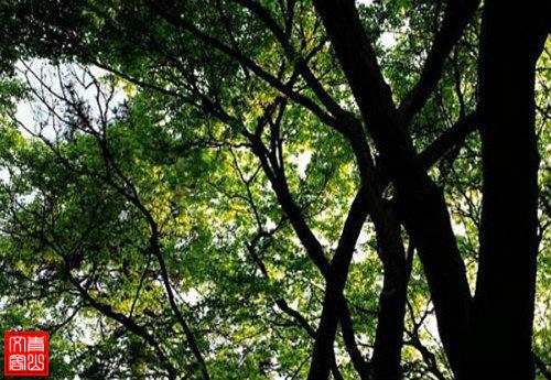 翠树绿叶1.jpg