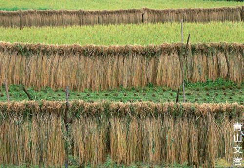 利用稻草.jpg