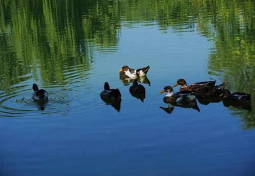年嘉湖中追野鸭3.jpg